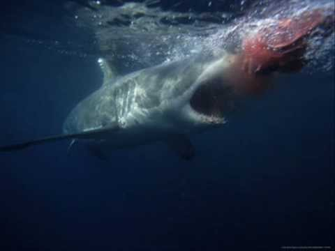 Great white shark numbers are surging, study says ...