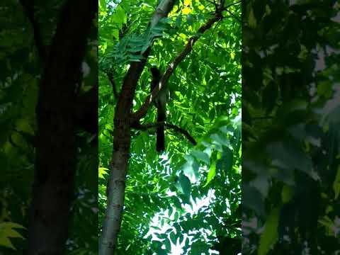 樹鵲啄食黃斑椿象