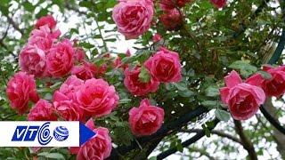 Hoa hồng cổ: Cơn sốt dịp Tết | VTC