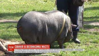 Киянка тримає у своїй квартирі 80-кілограмову свійську свиню