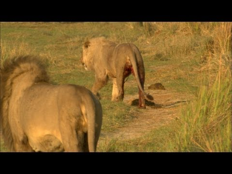 Lion prides clash