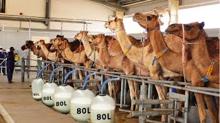 Modern Camel Farming - Automatic Camel Milking Technology - Amazing Camel Milk Product