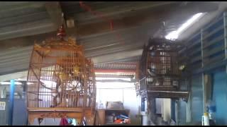 Merbah Jambul / Red Whiskered Bulbul / Candik Koleksi Syah
