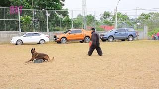 Chó Ikido 1 tỉ bảo vệ chủ như thế nào? | How do Ikido dogs protect their owners?
