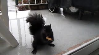 Part 3: Nervous squirrel finally eats the peanut!