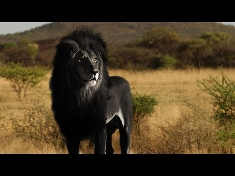 Is The Black Lion Real Youtube