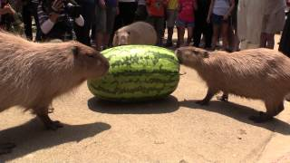 Capybara VS Huge watermelon 2014 in Nagasaki