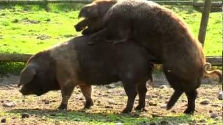 Schweinesex und glückliche Ferkel