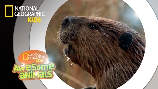American Beaver | Awesome Animals