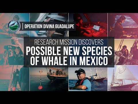 Possible new species of whale in Mexico.