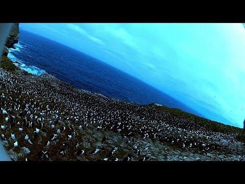 Une colonie de pingouins filmée par un oiseau