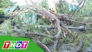 Đà Lạt: Sét đánh gãy cây thông cổ thụ, 4 người thoát nạn | THDT