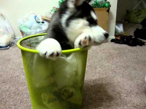 Cutest Husky Puppy EVER!!! XD