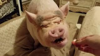 MINI PIG NIGHT TIME ROUTINE ❤