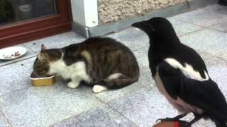 Kuba (sroka) atakuje koty