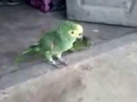 Baixar Papagaio Palhaço