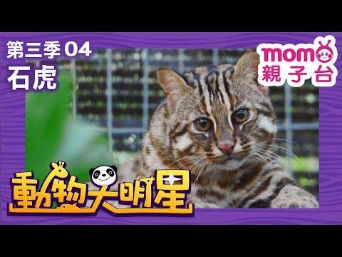 momo親子台 動物大明星 S3 EP 04【石虎】第三季 第4集 官方HD完整版