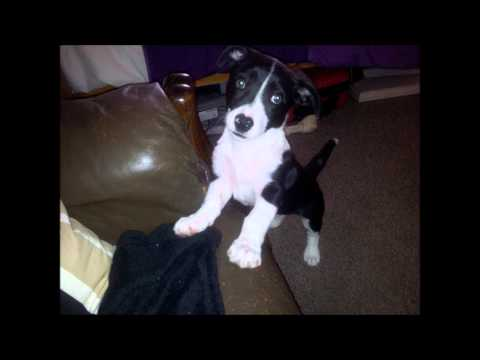 border collie jack russell terrier mix puppy border collie mix jack russell terrier youtube 1639