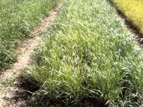 Switchgrass trials in Albacete (Spain)