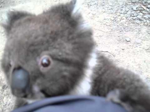 Un koala grimpe sur la jambe d'une touriste