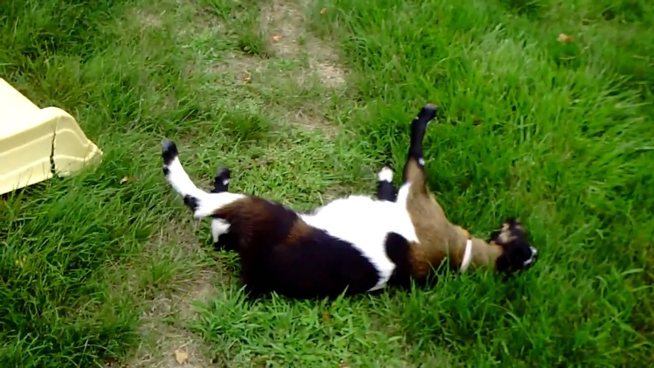 fainting goats youtube