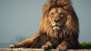 Protecting the African lion from trophy hunters