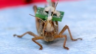 Bomb Sniffing Cyborg Locusts:  Washington University Researchers Create Biobots