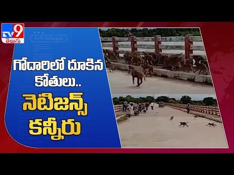 Hundreds of monkeys forcibly jump into river Godavari, viral video
