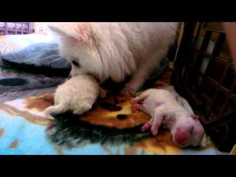 이건 진짜 봐야함. 귀여운 강아지 포메라니안