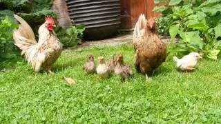Serama Chicken family (baby chicks) cute!