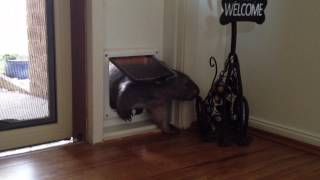 Ruby The Wombat Using The Cat Door