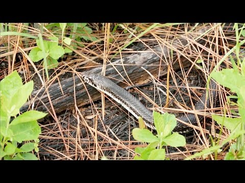 screenshot of youtube video titled Northern Pine Snake | Expeditions Shorts (small thumbnail)