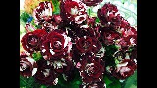 573 -How to transplant and care Black Tiger Rose Plant/गुलाब कैसे और किस मिट्टी में लगाएं - 21/11/17