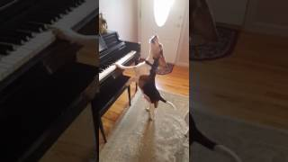 Ovaj pas ima nevjerovatan talenat da svira klavir, ali i još nešto
