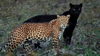 Eternal Couple: Black Panther, Leopard spotted together, p..