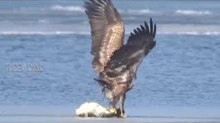 Eagle Hunting, Catching Biggest Prey Crocodile, Fish & Birds