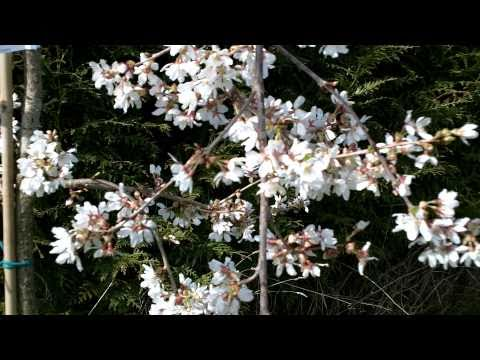Prunus 'Snow Showers' - 'Hillings Weeping' Tree