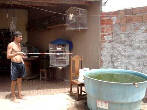 Cria o de tilapia em casa na caixa d agua de 500 litros for Cria de tilapia en casa