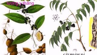 Những cây thuốc chứa hợp chất berberin