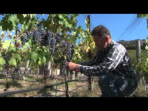 One Acre Napa Valley - Yountville AVA Episode 13 - 1st Harvest - 2013