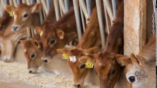 Programa #9 TV Jersey - Sistema Robotizado de Ordenha com Vacas Jersey