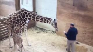 APRIL THE GIRAFFE PROTECTS BABY ||  KICKS VET IN THE NO NO SQUARE