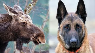 Belgian Malinois Being Chased by a Moose (COMMENTARY)