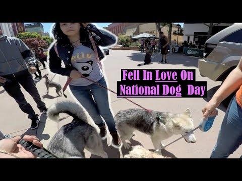 GOOD BOY! Siberian Husky Attracting Women On National Dog Day 2017