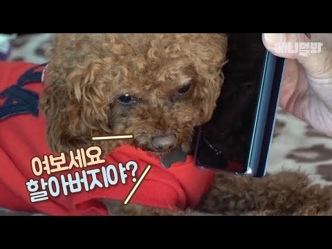 (지금 중요한 통화중)ㅣ Wonder How Poodle Dog Who Favors Grandpa Ended Up?!