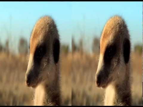 Meerkats - Le Sentinelle del Deserto in 3D