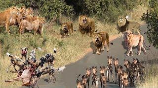 LIVE: Lion vs Wild Dogs vs Hyena Survival Battle - Leopard vs Warthog - Wild Animals 2018