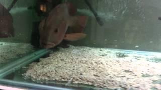 Mangrove Jack eating live food