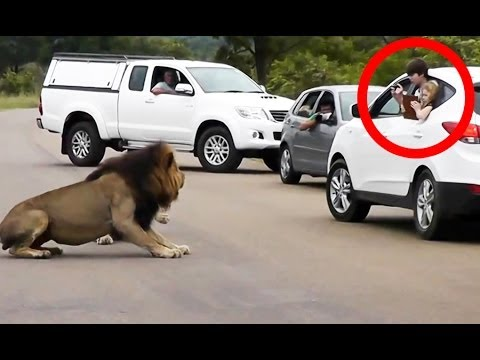 Lion Shows Tourists Why You Must Stay Inside Your Car