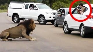 Lion Shows Tourists Why You Must Stay Inside Your Car - Latest Wildlife Sightings